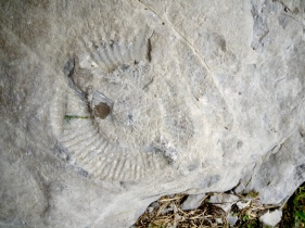 these fossils are common at the base of the crag